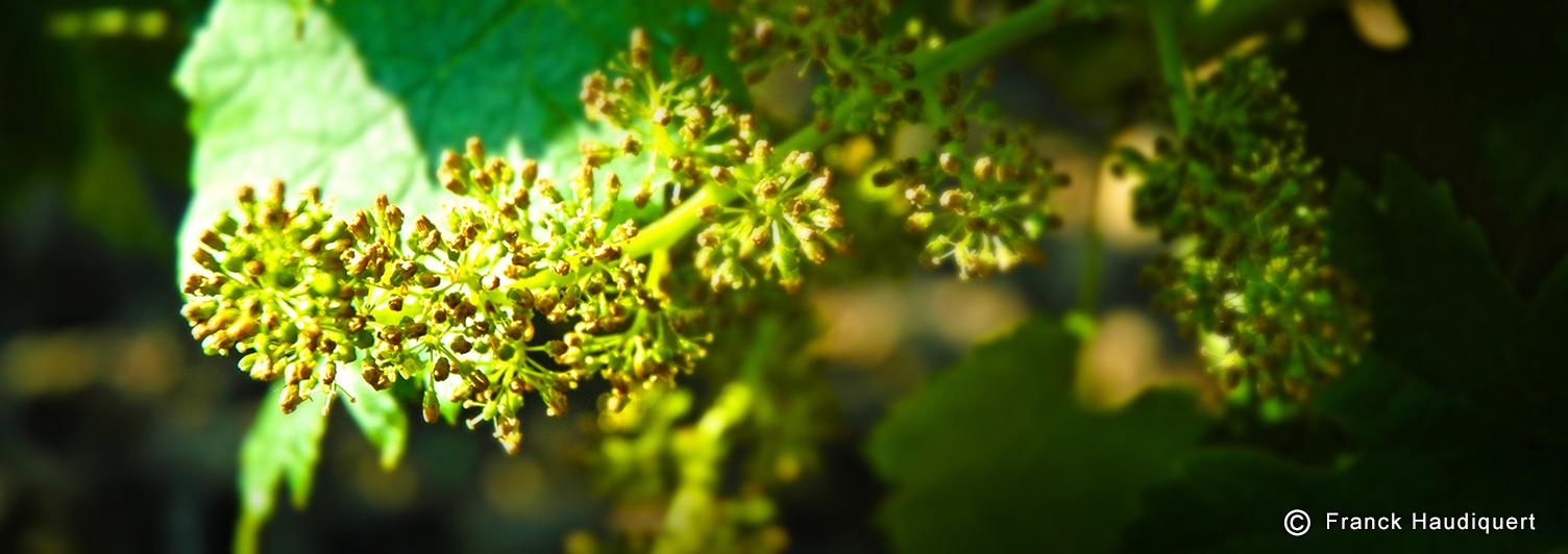 STVE   La fleur de vigne